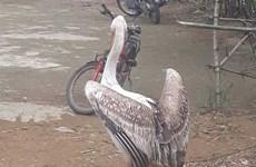Thả hai cá thể chim bồ nông chân hồng quý hiếm về môi trường tự nhiên