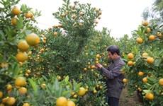Thời tiết bất thường, làng Hợp Lý mất mùa quất cảnh dịp Tết
