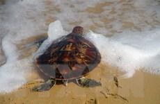 Phú Yên: Thả một cá thể rùa biển quý hiếm về môi trường tự nhiên