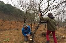 Làng hoa đào ở Hà Tĩnh rộn ràng vào Tết, hứa hẹn một mùa bội thu