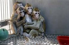 Trung Quốc nhân bản khỉ chỉnh sửa gene để nghiên cứu y sinh