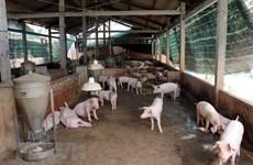Phòng, ngăn chặn dịch bệnh dịch tả lợn châu Phi xâm nhiễm vào Việt Nam