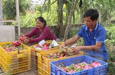 Giá thanh long ruột đỏ tăng mạnh, nông dân Tiền Giang thu lãi cao