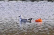 Bóng bay - nguy cơ lớn nhất đe dọa sự sống của loài chim biển
