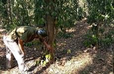 Kẻ xấu chặt phá vườn tiêu của người tố cáo phá rừng ở Bình Phước