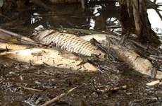 Kết luận nguyên nhân khiến cá chết hàng loạt trên sông Hồng