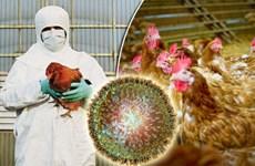 Cúm gia cầm chủng H5N6 lần đầu tiên bùng phát tại Campuchia