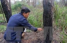 Những khuất tất trong vụ hàng nghìn cây thông ở Lâm Đồng bị hạ độc