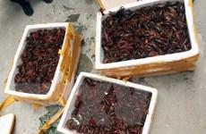 Lạng Sơn: Phát hiện xe khách chở gần 50kg tôm hùm đất nhập lậu