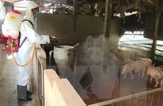 Cần Thơ đã xuất hiện dịch tả châu Phi, trên 100 con lợn bị tiêu hủy