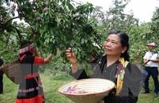 Ngày hội hái quả ở Mộc Châu: Trải nghiệm hái và ăn mận ngay tại vườn