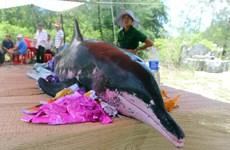 Bình Thuận: Xác cá voi nặng hơn 15 tấn dạt vào vùng biển Mũi Né