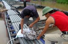 Cá lồng chết hàng loạt trên lòng hồ thủy điện Sơn La sau đợt mưa to