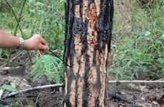 Xử phạt đối tượng hạ độc 22 cây thông cổ thụ để chiếm đất sản xuất