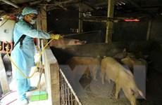Sóc Trăng tiêu hủy gần 490 con lợn nhiễm dịch tả châu Phi