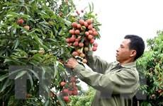 Vải thiều Bắc Giang tiêu thụ thuận lợi, giá ổn định ở mức cao