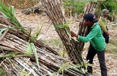 Casuco lên phương án đóng cửa Nhà máy đường Vị Thanh ở Hậu Giang