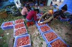 Bắc Giang: Doanh thu từ vải thiều và dịch vụ phụ trợ đạt 6.500 tỷ đồng