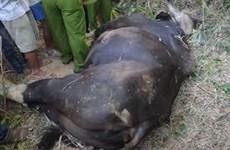 Một cá thể bò tót chết trong Khu bảo tồn thiên nhiên ở Đồng Nai