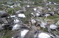 Số lượng tuần lộc lớn chưa từng có tại Na Uy chết vì thiếu thức ăn