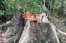 Rừng đầu nguồn Trà Kót ở Quảng Nam bị tàn phá nghiêm trọng