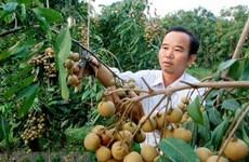 Nhãn nghịch vụ được mùa, giá cao, nông dân Bà Rịa-Vũng Tàu phấn khởi