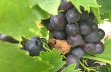Ngành rượu vang Australia bị ảnh hưởng nặng nề vì biến đổi khí hậu