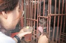 Cứu hộ thành công gấu bị nuôi nhốt nhiều năm trong chuồng chật hẹp