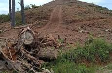 Vụ phá rừng thông 20 năm tuổi: Hàng chục cây thông tiếp tục bị đốn hạ