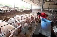 Yêu cầu ổn định giá thịt lợn từ nay đến Tết Nguyên đán Canh Tý 2020