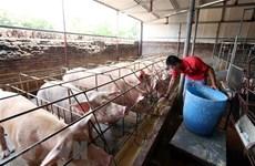 Giá thịt lợn tăng cao, người chăn nuôi vẫn chưa dám tái đàn