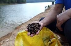 Mùa thu lượm hạt dẻ rừng nơi đại ngàn Mường Phăng-Pá Khoang
