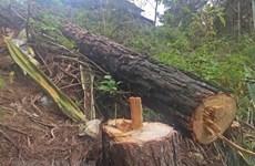 Lâm Đồng: Phát hiện vụ phá rừng phòng hộ Sêrêpôk với quy mô lớn
