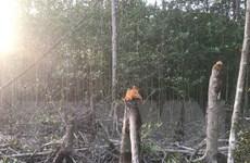 Cà Mau: Kiểm tra vụ rừng phòng hộ xung yếu biển Đông bị chặt phá