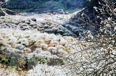 [Photo] Đến Mộc Châu, mê mẩn ngắm hoa mận nở trắng rừng