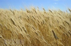 FAO: Giá lương thực, thực phẩm thế giới đạt mức cao nhất trong 5 năm
