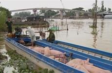 Điểm nóng buôn lậu lợn từ Campuchia về Việt Nam dịp gần Tết