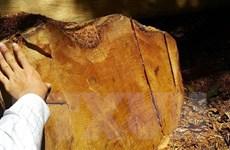 Phát hiện vụ vận chuyển và cất giữ nhiều cây gỗ giáng hương trái phép