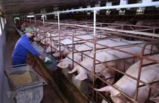 Phát triển chăn nuôi bền vững và đảm bảo an toàn dịch bệnh