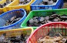 Giá cua biển tại Kiên Giang giảm sâu, nông dân đứng ngồi không yên