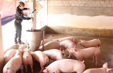 Đồng Tháp công bố hết dịch tả lợn châu Phi sau hơn 9 tháng bùng phát