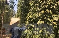 Đồng Nai: Nông dân loay hoay vì hồ tiêu rớt giá thê thảm