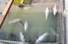 Làm rõ nguyên nhân cá nuôi lồng chết bất thường trên sông Chu