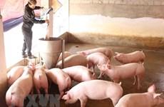 Nhiều doanh nghiệp cam kết đưa giá lợn về 70.000 đồng mỗi kg