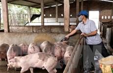 Cơ bản khống chế dịch tả châu Phi, Thanh Hóa tái đàn lợn có kiểm soát