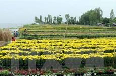 Nhân giống hoa cúc quy mô lớn bằng phương pháp vi thủy canh