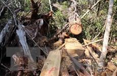 Đắk Lắk chỉ đạo kiểm tra, xử lý tình trạng phá rừng pơmu