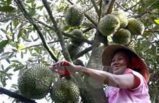 Khánh Hòa: Sầu riêng đặc sản tại Khánh Sơn được mùa, được giá