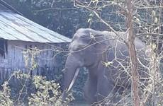 Voi rừng sinh con trong vườn điều của một hộ dân ở Đồng Nai