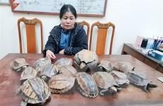 Hà Tĩnh phát hiện, bắt giữ 15 cá thể rùa không rõ nguồn gốc